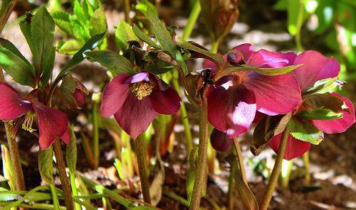 hellebore purple hellebore spring