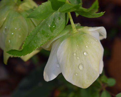 hellebore with raindrops pink lenten rose lenten rose
