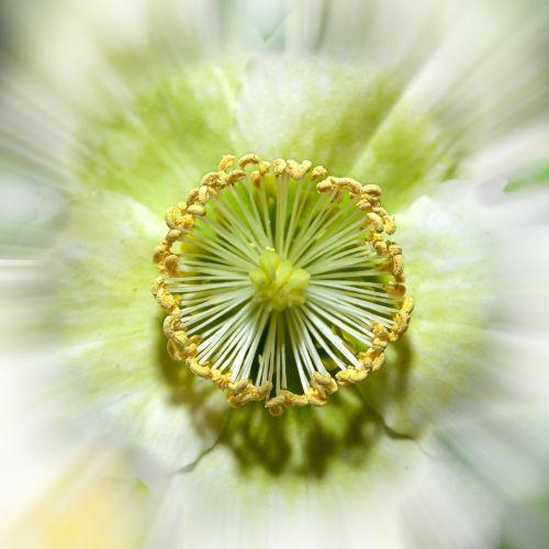 helleborus anemone blanda christmas rose