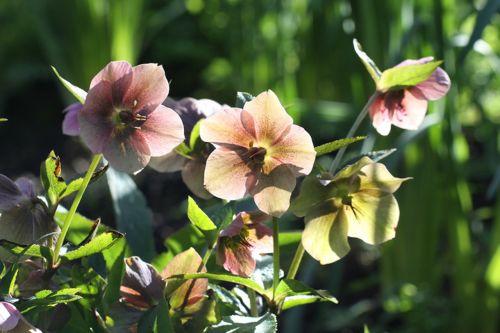 helleborus hellebore flower