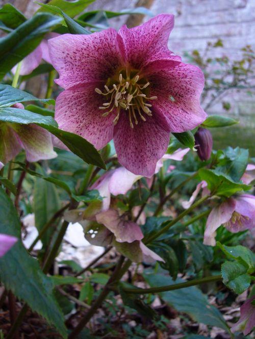 Helleborus, Hellebore, Lenten Rose