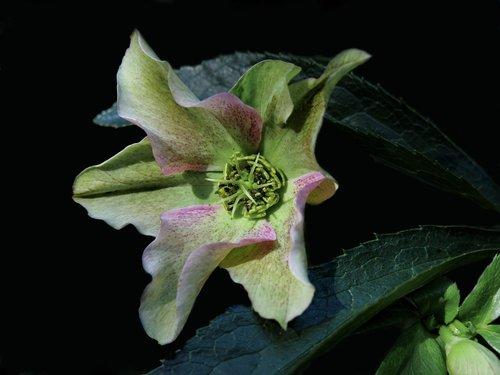 helleborus niger  anemone blanda  christmas rose