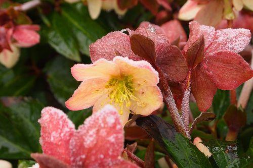 helleborus orientalis flower ripe