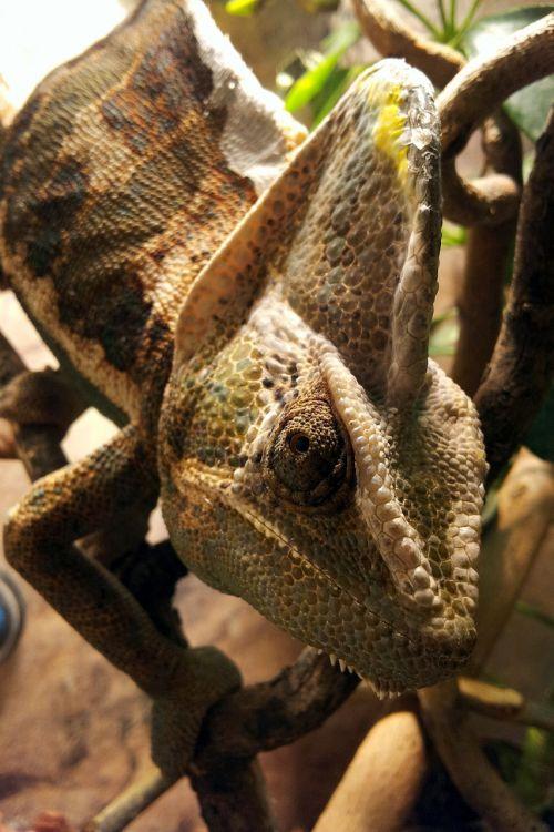 helmeted chameleon reptile terrarium