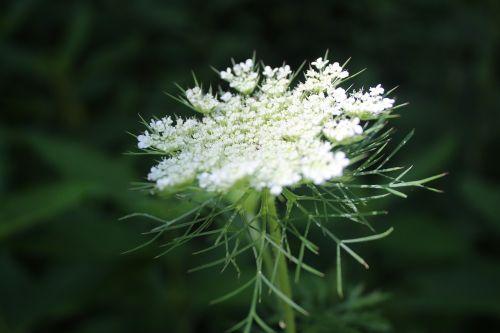 hemlock flower white