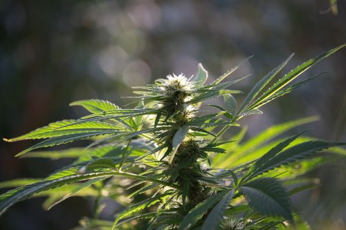 hemp hemp flower crop
