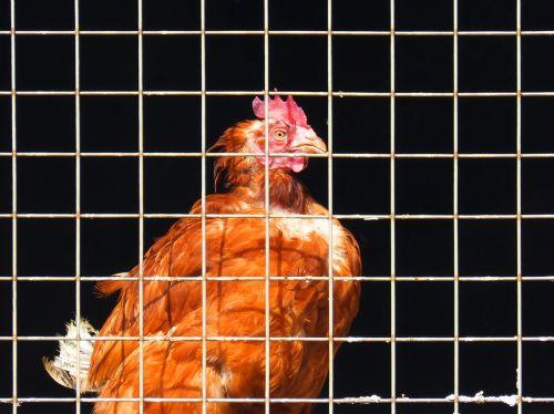 hen bars farm animal
