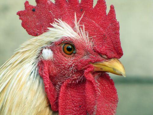 hen bird poultry