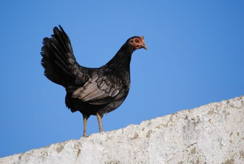 hen black animals