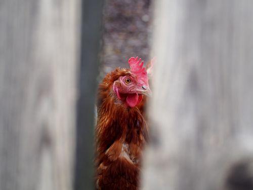 hen egg chicken