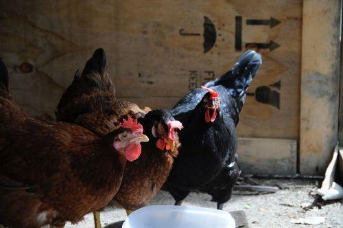 hens farm barnyard animals