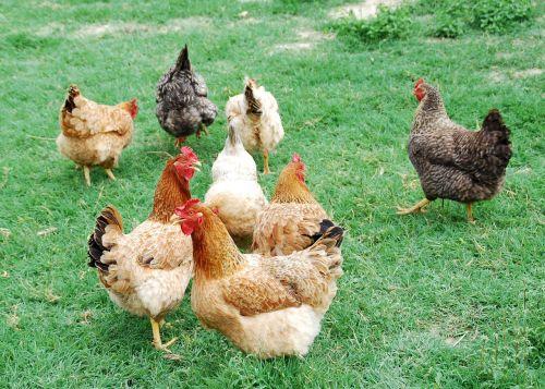hens animals hen