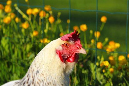 hens  hen  animals