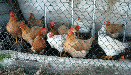 hens cage animals