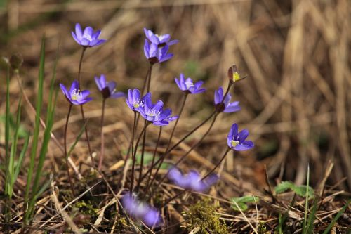 hepatica spring spring plant