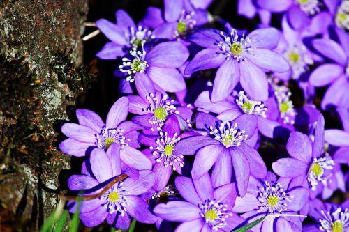 hepatica, violetinė, pavasaris, žiedas, žydėti, gėlė, pavasario gėlė, Uždaryti, gamta, sodas, purpurinė pavasario gėlė, bazaltas, žydėti, purpurinė gėlė, frühlingsanfang, frühlingsblüher, be honoraro mokesčio