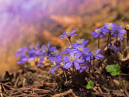 hepatica  hepatica nobilis  early bloomer
