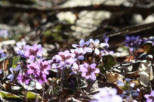 hepatica,augalas,gėlė,pavasaris,pavasario augalas
