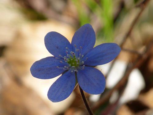 hepatica flower blossom