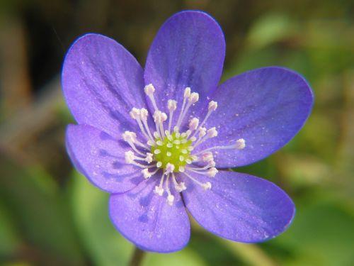hepatica anemone flower