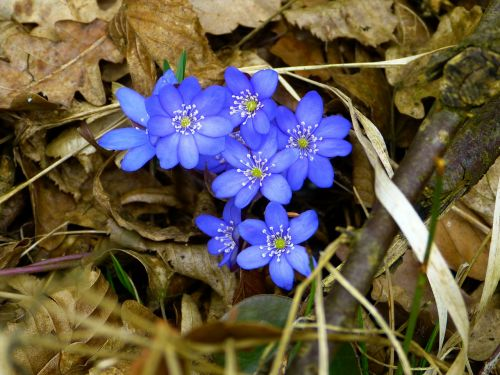 hepatica blossom bloom