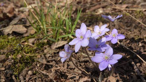 hepatica nobilis podléška spring flowers