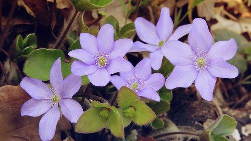 hepatica nobilis  anemone hepatica  anemone