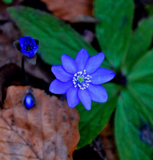 hepatica nobilis spring blue