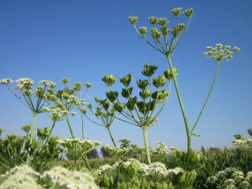 heracleum sphondylium sky macro