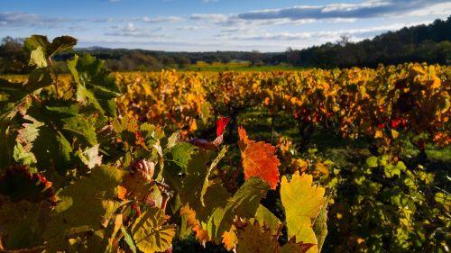 herald vine vineyard