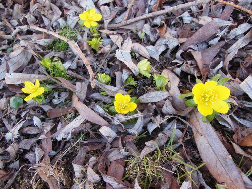 herald of spring flowers eranthis