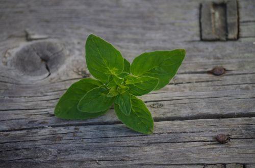 herb oregano origanum