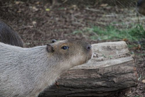 herbivorous fur mammal