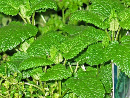 herbs mint thyme
