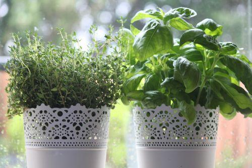 herbs thyme basil