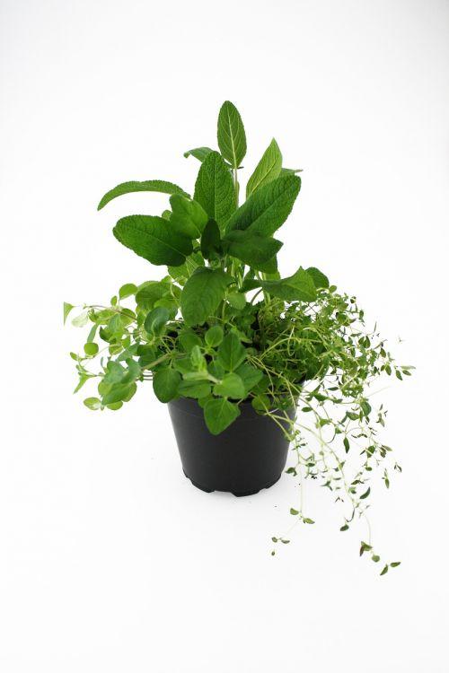 herbs oregano thyme