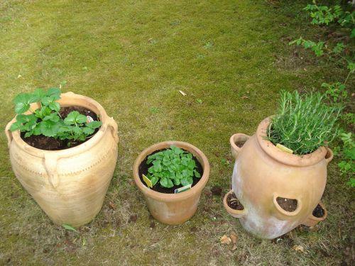 herbs healthy pots