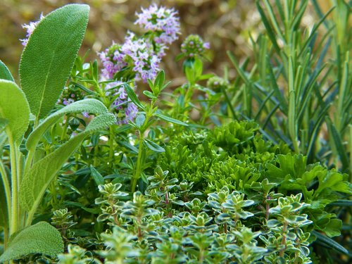 herbs  green  plant