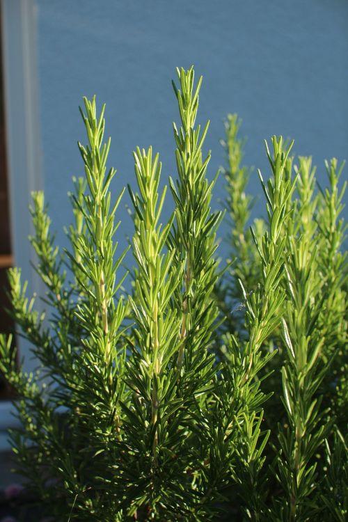 herbs rosemary garden