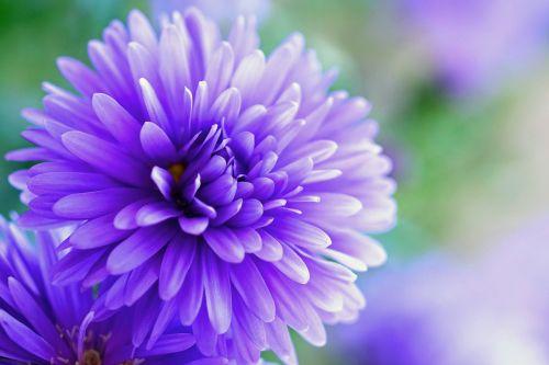 herbstaras,violetinė,gėlė,žiedas,žydėti,purpurinė gėlė,Uždaryti,augalas,gėlė violetinė,violetinė,šviesus,makro,gamta,gražus,žydėti,flora,žiedlapiai,sodo augalas,rudens gėlė