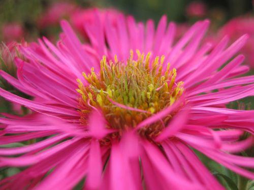 herbstaster flower blossom