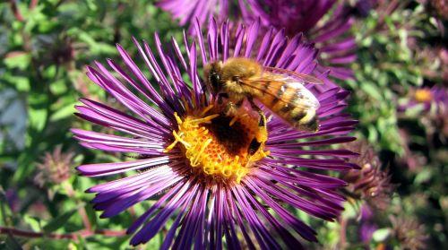 herbstaster bee blossom