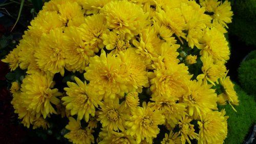 herbstaster flower many