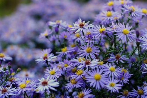 herbstaster aster dumosus flower