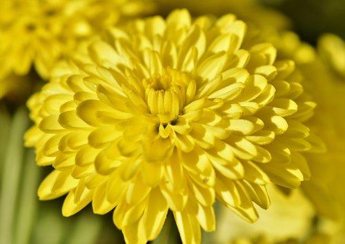 herbstaster  aster  blossom