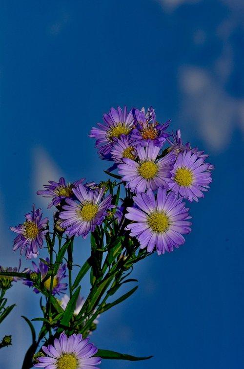 herbstaster  blue  nature