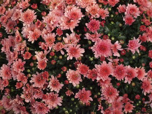 herbstaster pink blossom