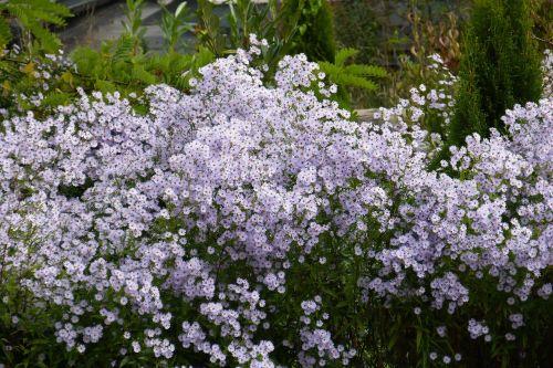 herbstaster flowers bloom