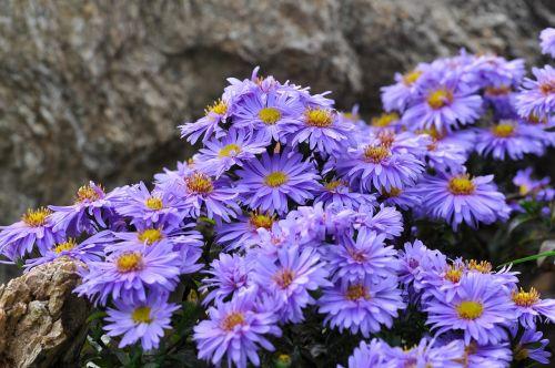 herbstaster flowers aster
