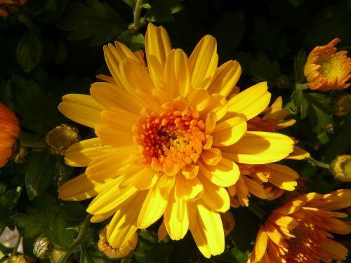 herbstaster aster flower